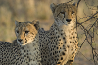 Cheeta Pair